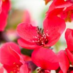 closeup of red flowers isolated